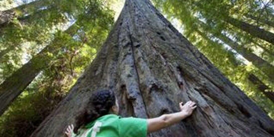 OD 1110 USA Kalifornien California Redwood 0g (jpg)