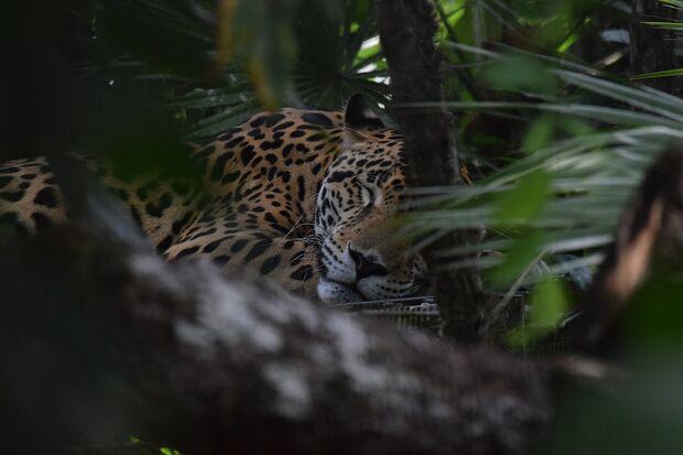 OD 2017 Trekking Abenteuer pixabay Jaguar Belize Dschungel Tropen Mittelamerika