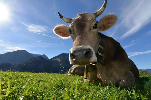 OD 2018 Mythos Bayern Sonderheft S.106 Bad Hindelang Kuh