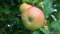 OD Gutes aus der Natur: Früchte und Nüsse - Apfel