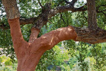 OD Heilkraft aus der Natur: Korkeiche