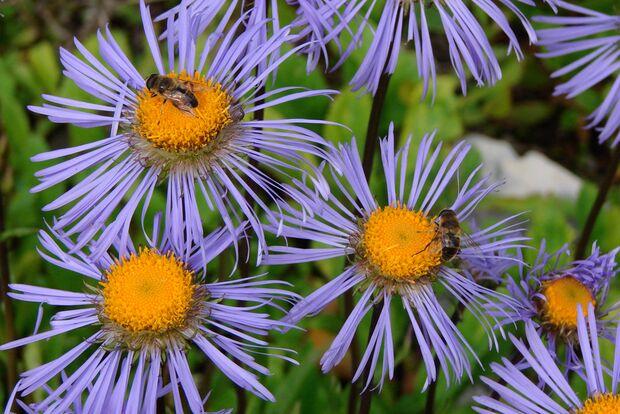 OD Natur Bergaster Blumen Pflanzen