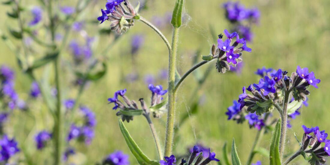 Od-essbare-Pflanzen-Gewoehnliche-Ochsenzunge-Steffen-Hauser-botanikfoto-521025-L.jpg