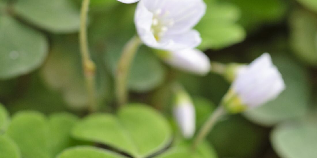 Od-essbare-Pflanzen-Waldsauerklee-Steffen-Hauser-botanikfoto-471105-L.jpg