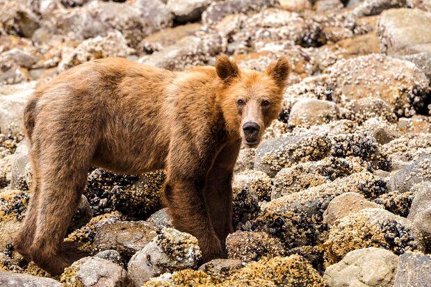od-0219-kanada-Wilderness-International-Ein-junger-Grizzly