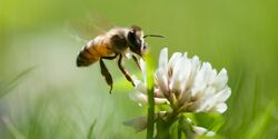 od-0419-greenissue-biene-insekten-COLOURBOX1689586