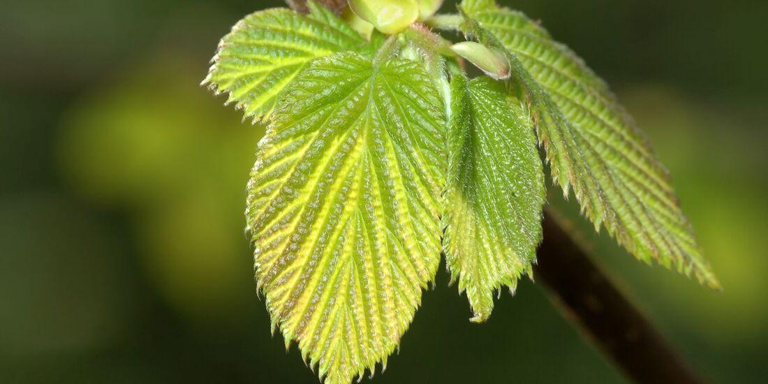 Geliebte Haselnuss - alle Infos zur essbaren Pflanze - outdoor-magazin.com &BA_48